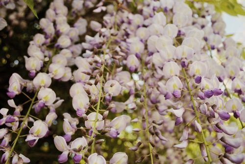 Wisteria wide view