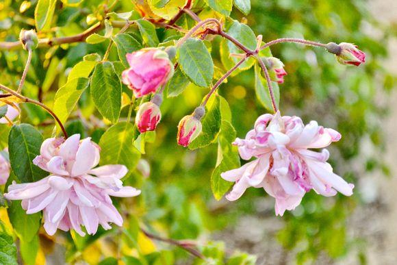 Pink_rose_Garden