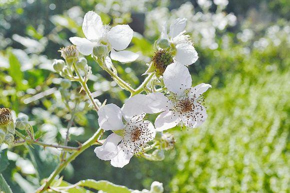 Spring_blossom_closeup