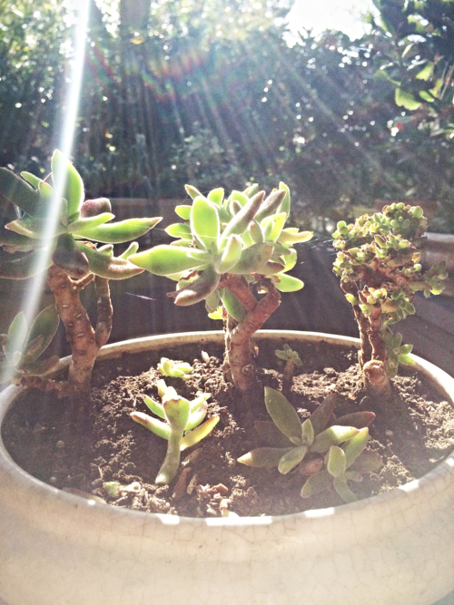 Succulents in the sunlight