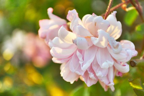 Rose_garden_pink