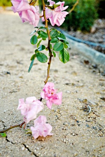 Pink_rose_trail