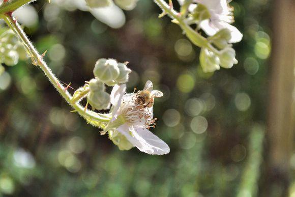 White_blossom_bee
